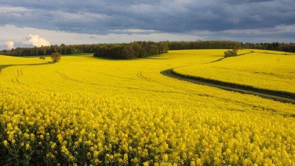 研究指出油菜有望成为一种更能耐受全球气候变暖的作物